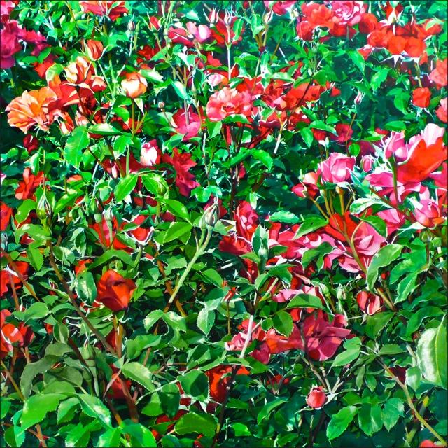rose_93